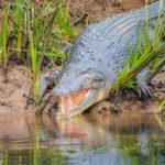 Scientists gave alligators ketamine and headphones to study dinosaur hearingCroc